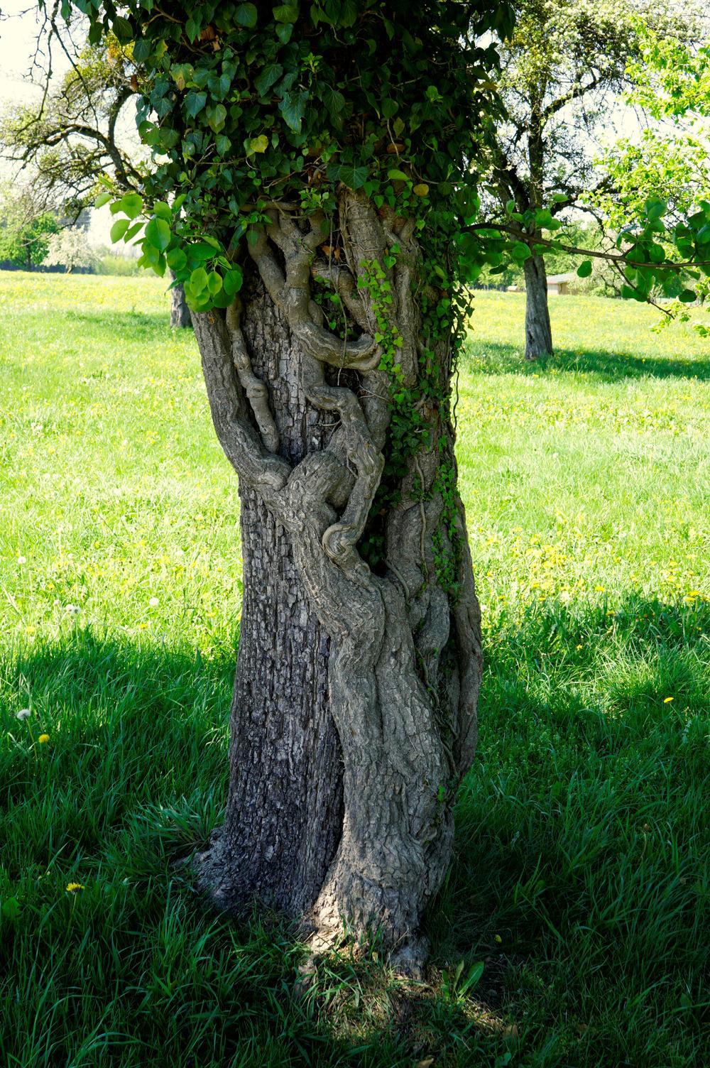 Baum mit Efeu ~ Koexistenz . . .