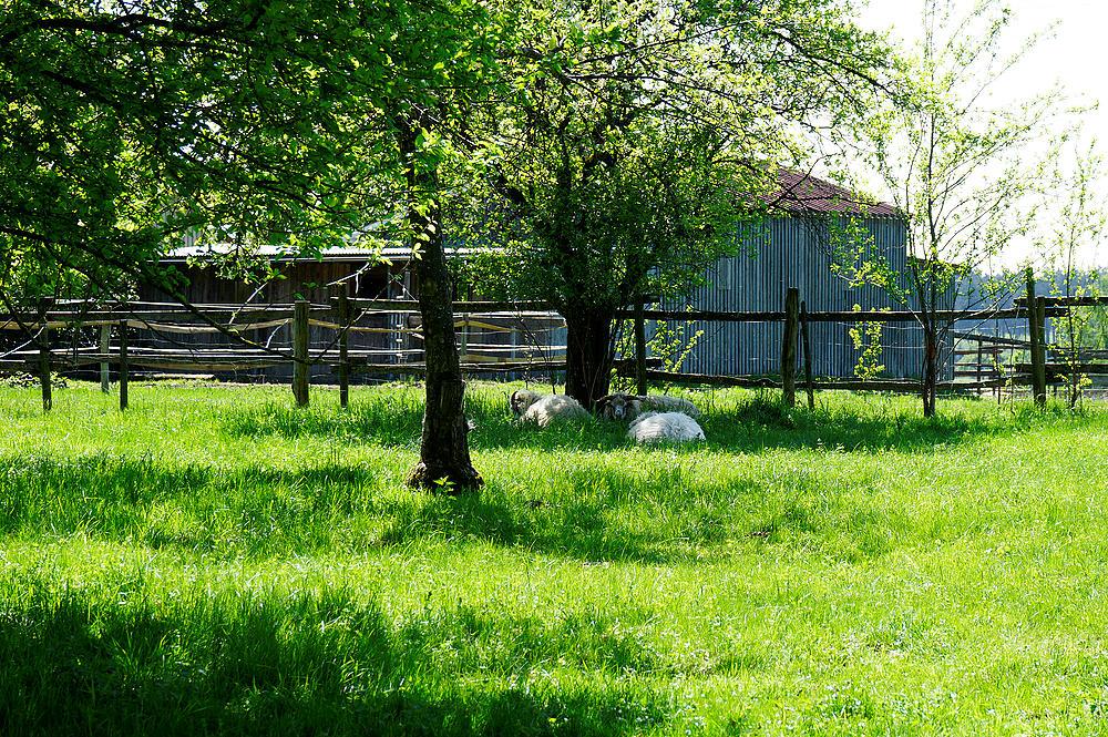 nach mehreren Besuchen bei den Schafen ~ Lust zur Photosession?