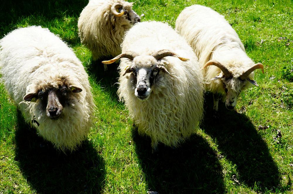 Gruppenbild mit Schafen ~ gibt's jetzt was zu futtern?
