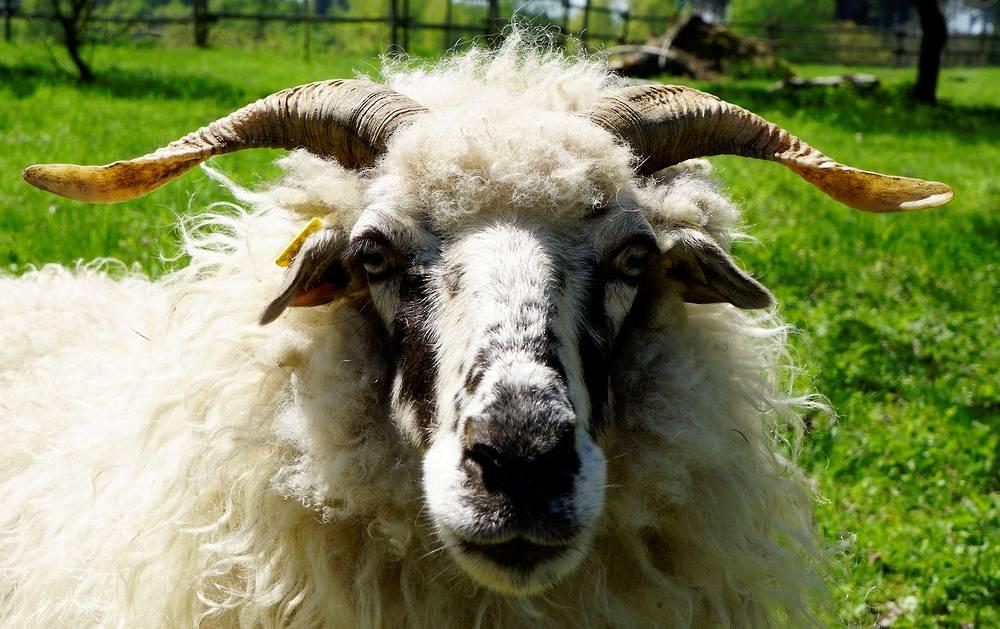 Schaf mit schön geschwungenen Hörnern