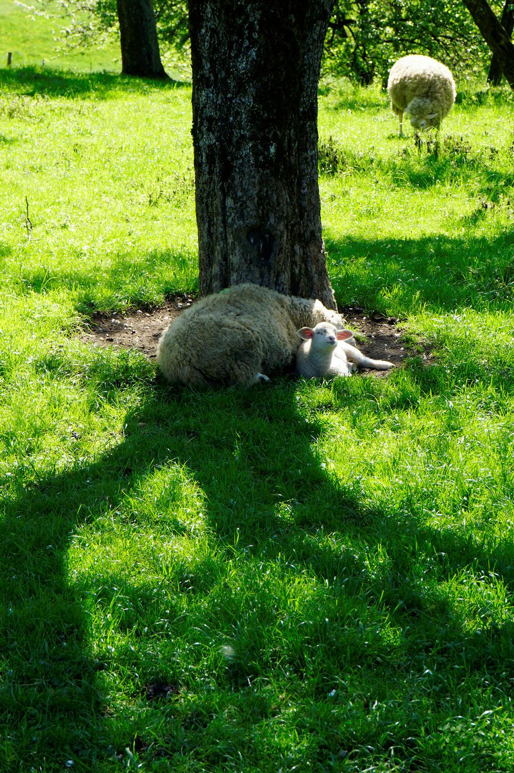 andere Schafe ~ mit Nachwuchs