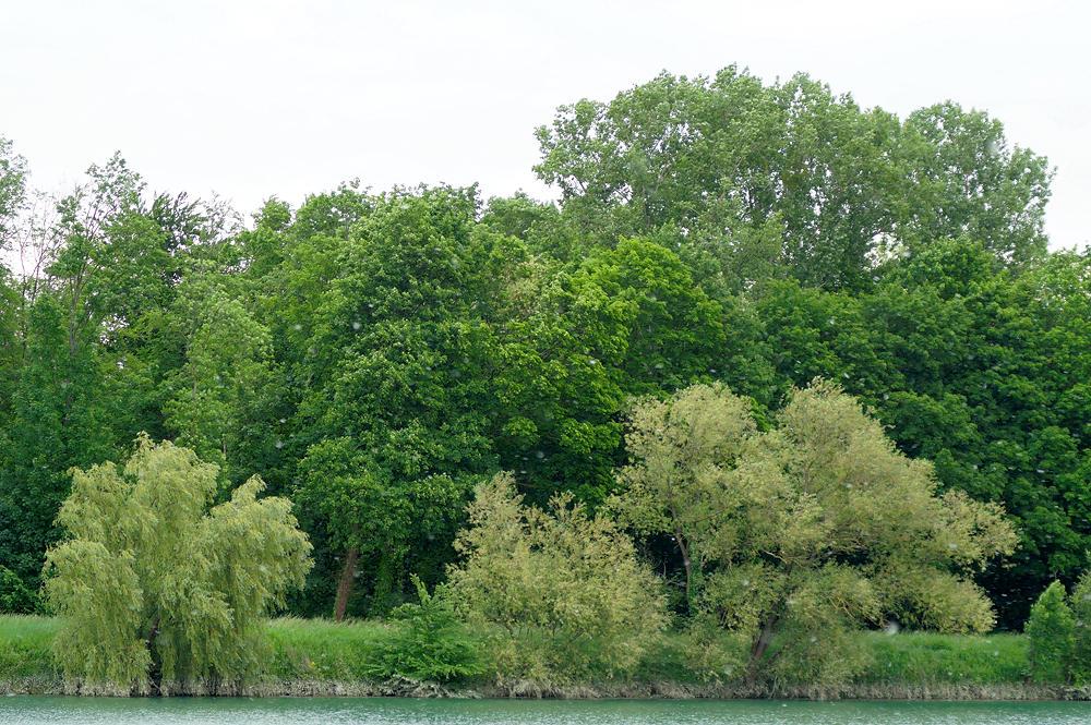 Pappeln, Weiden, Eschen und die üblichen Verdächtigen des Auwalds