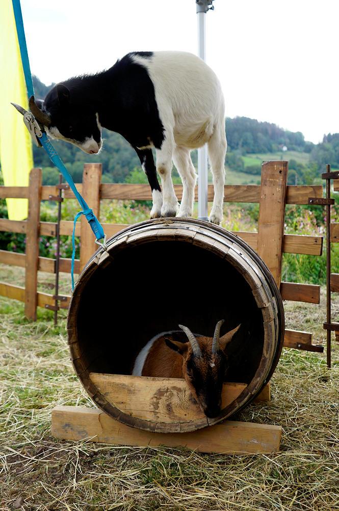 Faire Bio ~ auch die Ziege zeigt Leistung :)